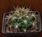 № 18 Gymnocalycium monvillei v eshinatum VS 2