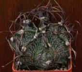 № 20 Astrophytum capricorne v minor