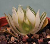 Haworthia-truncata-cv.-lime-green-variegata-1