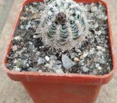 Gymnocalycium bruchii # 1