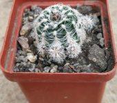 Gymnocalycium bruchii # 2