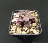 Haworthia pigmaea var. crystallinae