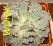 Echeveria shaviana 'Truffles' (8см)