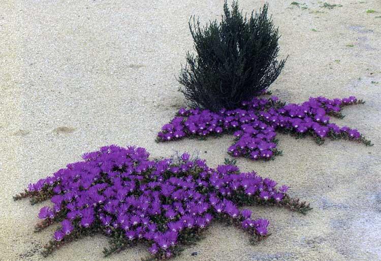 Рис. 7. Disphyma crassifolium ssp. clavellatum (Aizoaceae) встречается вдоль побережья и внутри страны на засоленных почвах или около них, вдоль соленых озер и в открытых скалистых областях. Чрезвычайно изменчивый по внешним признакам вид, особенно в изолированных внутренних популяциях. Прибрежные формы отчетливо напоминают лианы, в то время как внутренние формы могут быть небольшими компактными растениями.