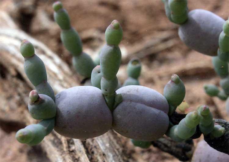 Рис. 3. Halosarcia bulbosa (Chenopodiaceae) – сегменты стебля этого растения по внешнему виду и размерам напоминают ягоды столового винограда. Белое или серое восковое покрытие этого очень редкого кустарника из Западной Австралии легко стирается от прикосновения.