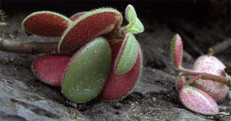 Рис. 4. Peperomia blanda var. floribunda (Piperaceae) - распространенный вид в скалистой местности на побережье Восточной Австралии. Контрастные цвета листьев этого вида очень привлекательны. Хорошо растет в полутени в местах, где нет заморозков и в помещениях.