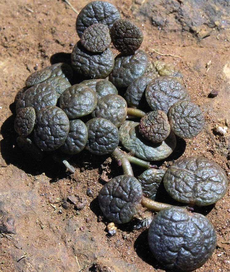 Рис. 5. Portulaca cyclophylla в среде обитания севернее от Микатарры, Западная Австралия.