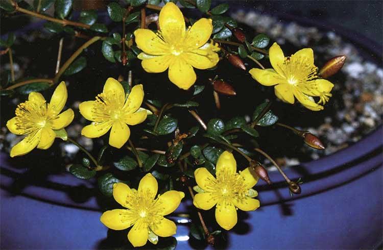 Рис. 6. Portulaca cyclophylla, культивируемая из семян, собранных к северу от Микатарры, Западная Австралия. В среде обитания после хороших дождей в течение весенних и летних месяцев обильно покрывается желтыми цветами диаметром 20-35 мм.