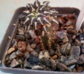 Ariocarpus kotschoubeyanus v.albiflorus