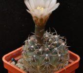 № 123 Gymnocalycium kieslingii var. castaneum P 220