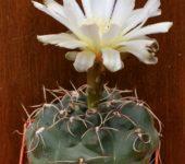 № 124 Gymnocalycium ourselianum