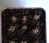 Anacampseros vanthiellii ( A. miniatura )