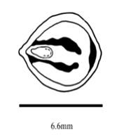Cissus quadrangularis - семя продольный разрез