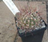 Sclerocactus polyancistrus MG 1237.95
