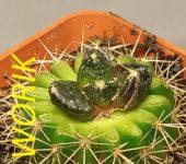 Ariocarpus hybrid scapharostrus x retusus