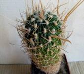 Echinofossulocactus llamelosus