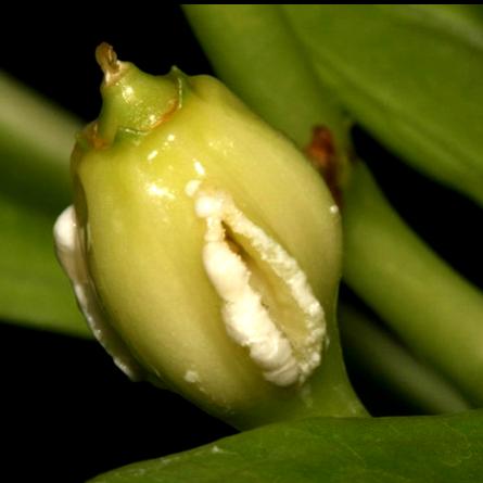 Плод Brighamia insignis