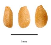 Семена Brighamia insignis