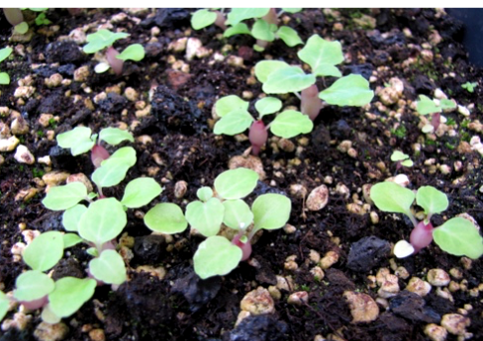 Свежие семена обычно хорошо прорастают