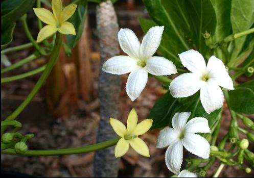 Цветки Brighamia insignis (слева) и Brighamia rockii (справа)