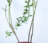 Насіння Talinum caffrum.