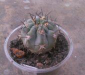 Acanthocalycium munitum DH10
