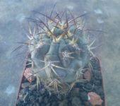 Acanthocalycium glaucum P143