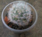 Mammillaria guelzowiana P302