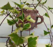 Senecio macroglossus f. variegata