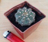 Gymnocalycium stellatum