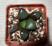 Haworthia comptoniana Japan clone