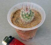 Mammillaria melanocentra
