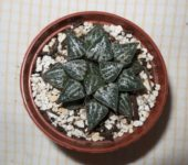 Haworthia cv. Yuki Keshiki. Японский культивар