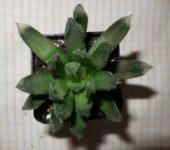 Haworthia Chevagri