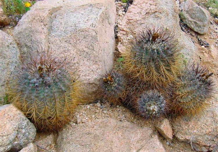Copiapoa corraiensis на местах произрастания
