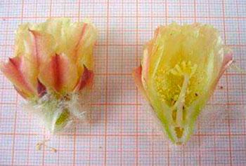 Цветок Copiapoa corraiensis в разрезе.