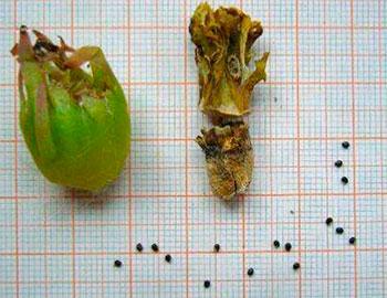 Плоды и семена Copiapoa corraiensis.