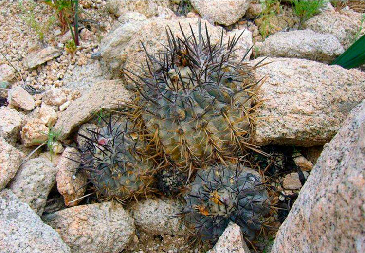 Copiapoa fusca и Copiapoa corralensis – описание двух новых видов (Часть 2)