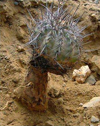 Copiapoa fusca с большим стержневым корнем.