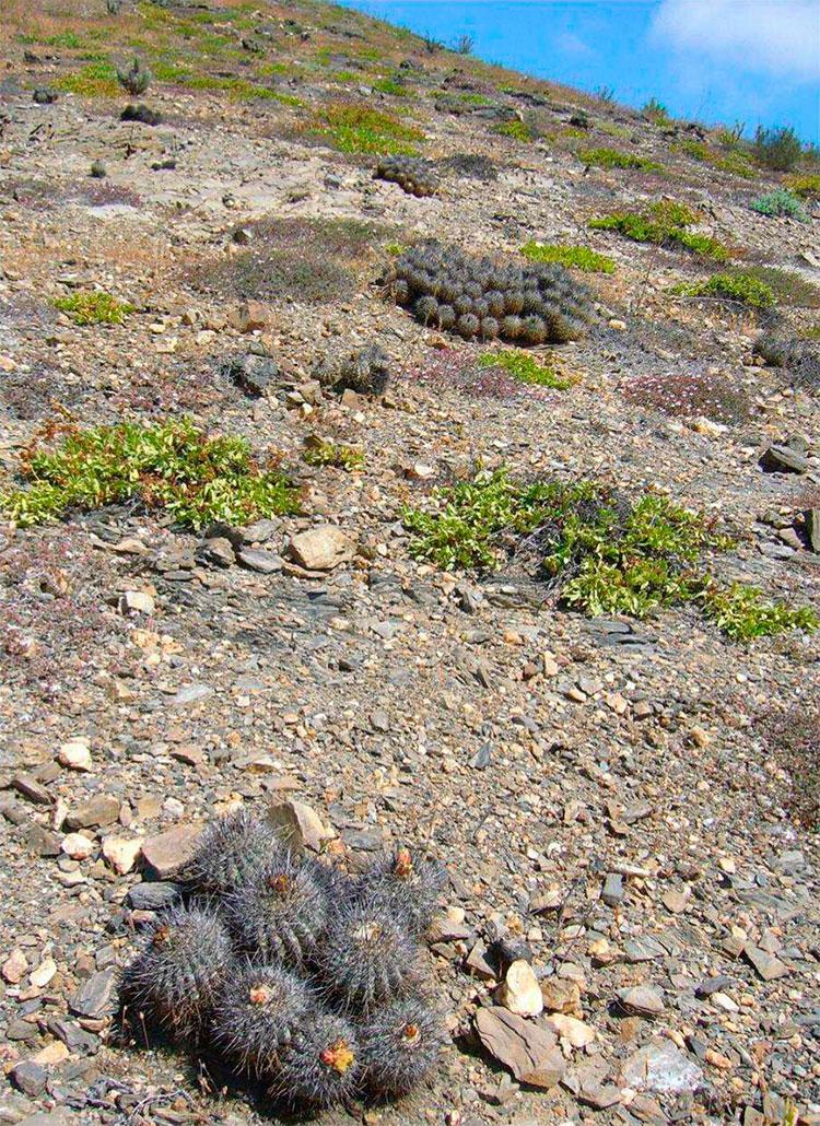Каменистый грунт, где растут большие группы Copiapoa fusca.