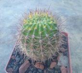 Echinopsis kermesina VG610