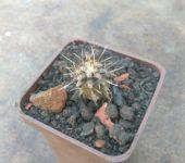 Echinopsis leucantha KPP2069