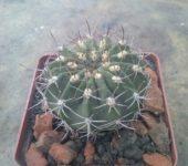 Acanthocalycium macranthum VG573