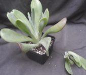 Kalanchoe luciae 'Oricula'( его же продают как Kalanchoe thyrsiflora Вaby finger) c/c