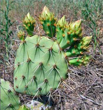 Opuntia rugosa, сегмент с бутонами, в местах произрастания.