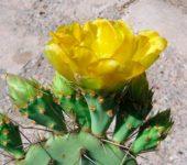 Opuntia rugosa, цветы, культурное растение.