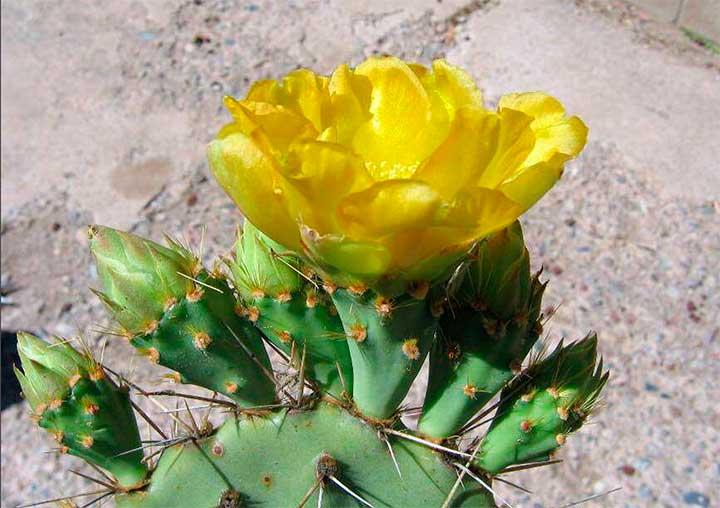 Opuntia rugosa – редко встречающийся калифорнийский вид