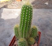 Heliantocereus huascha v.rubriflorus R153 .