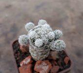 Mammillaria gracilis