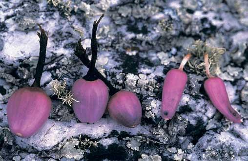 Плоды Arrojadoa marylanae (слева три плода) и Melocactus bahiensis (справа два плода). Соседство этих двух видов и подобие их плодов указывает на приспособление к одному и тому же разносчику семян, вероятно ящерицы.
